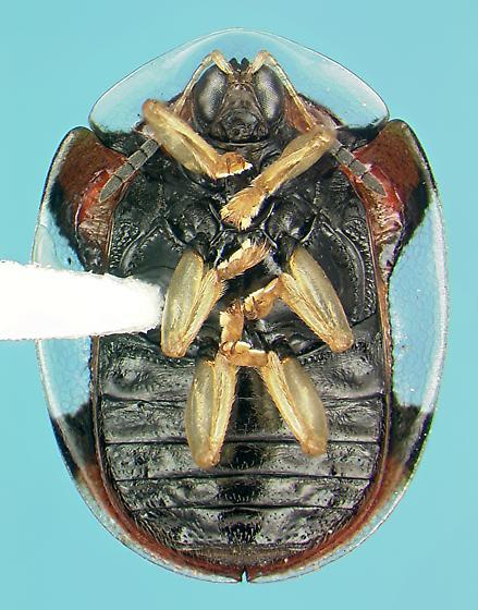 Chrysomelid - Charidotella emarginata