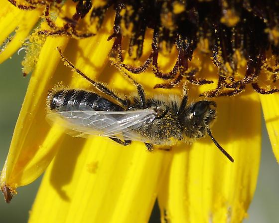 Perdita (Cockerellia) albipennis - Perdita albipennis