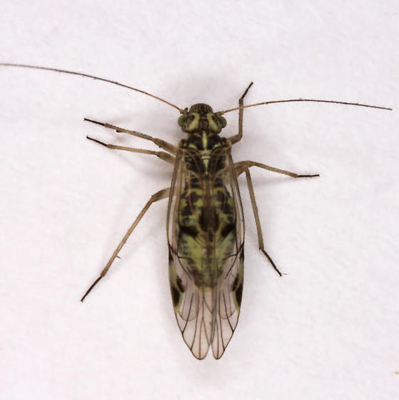 unknown Psocopteran - Psocus - female