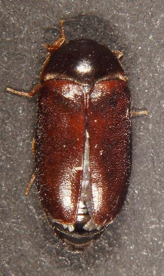 Unknown Beetle - Attagenus