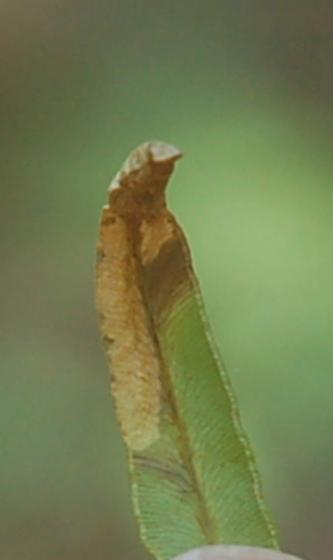 St. Andrews leaf miner maybe on Bracken fern SA484 2016 3