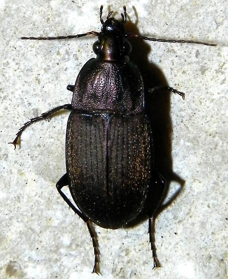 TX Purplish black Beetle - Chlaenius tomentosus