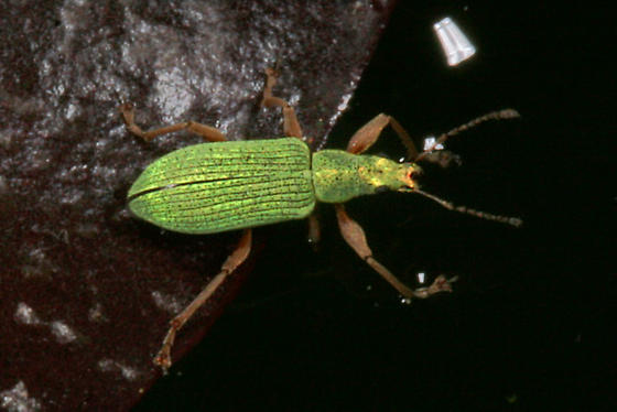 Polydrusus weevil from Oregon - Polydrusus impressifrons