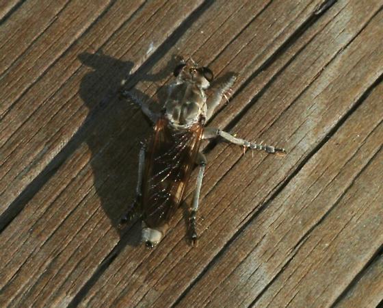 Robber Fly - Stichopogon trifasciatus