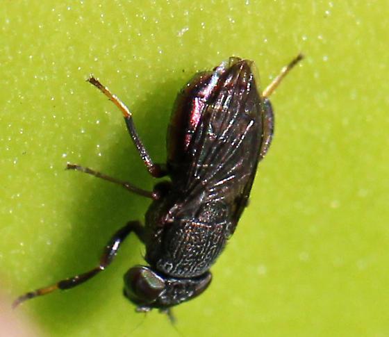 Purple Picture-winged Fly - Notogramma purpuratum
