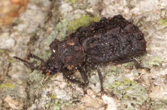 Forked Fungus Beetle - Bolitotherus cornutus - female