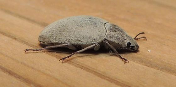 grey beetle