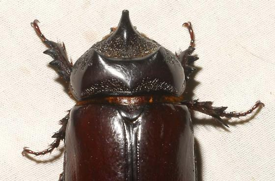Strategus aloeus (Linnaeus) - Strategus aloeus - male