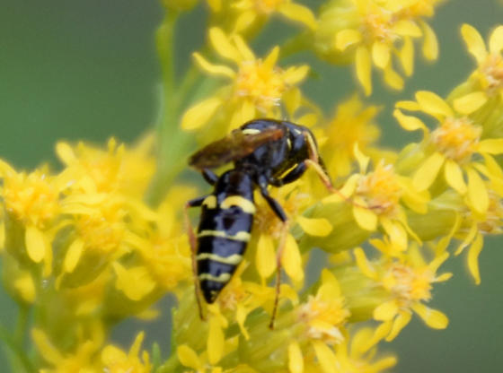 Wasp - Philanthus bilunatus