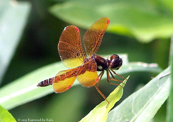 Is this an amberwing dragonfly? - Perithemis tenera