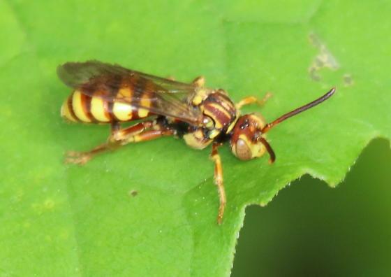 Wasp - Nomada