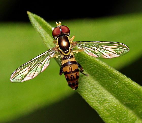 Toxomerus - Toxomerus geminatus