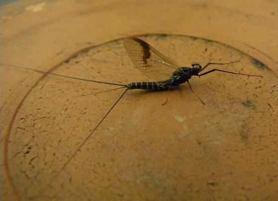 western Oregon Leptophlebia - Leptophlebia pacifica - male