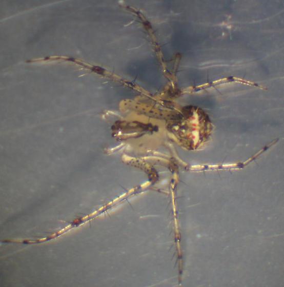 Weird Clear Spider - Mimetus puritanus