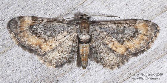Eupithecia coloradensis ? - Eupithecia coloradensis