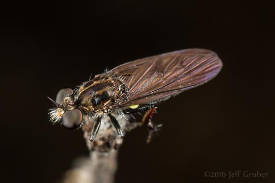 Asilid - Holopogon mica - female