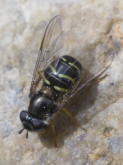 Hoverfly - Dasysyrphus