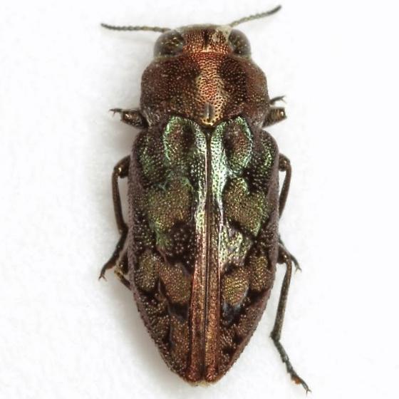 Chrysobothris ignicollis Horn - Chrysobothris ignicollis