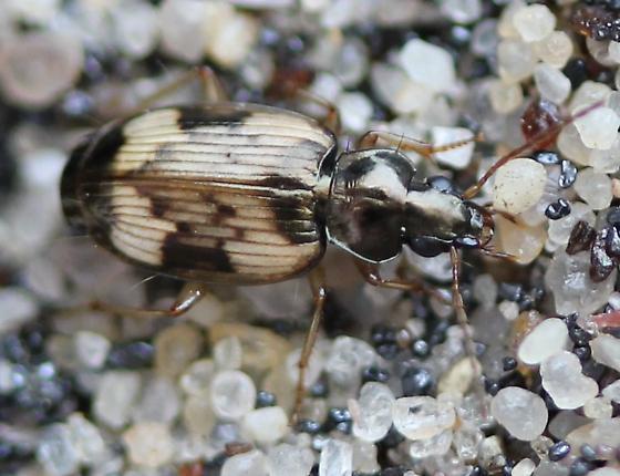 Carabidae - Tetragonoderus fasciatus