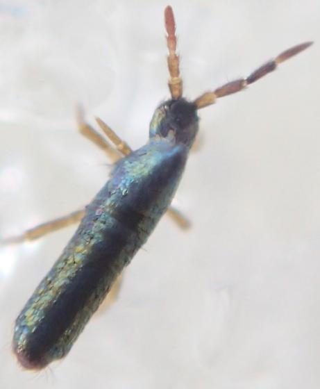 Springtail - Lepidocyrtus paradoxus
