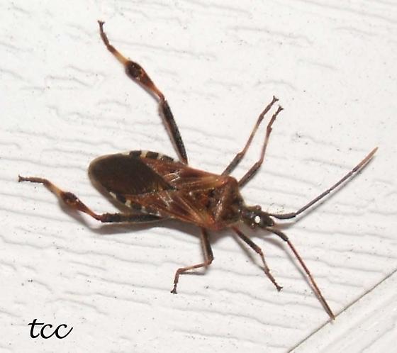 marsh fly - Leptoglossus occidentalis