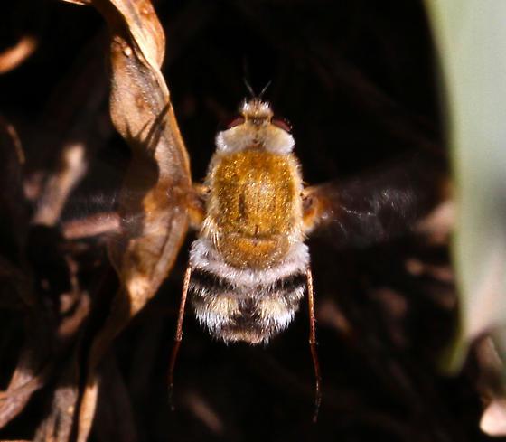 Bombyliidae - Heterostylum robustum - female
