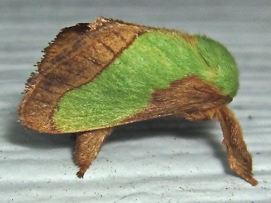 Smaller Parasa - Hodges #4698 (Parasa chloris) - Parasa chloris