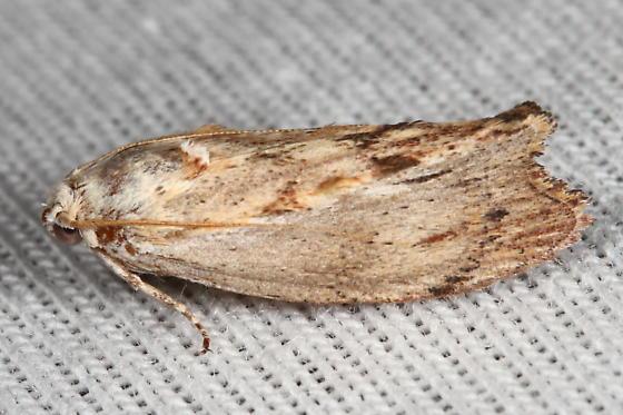 Moth - Galleria mellonella