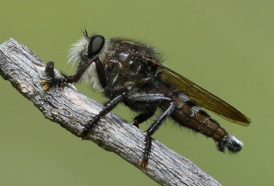 Chiricahuas Robber Fly 1 - Promachus atrox - male