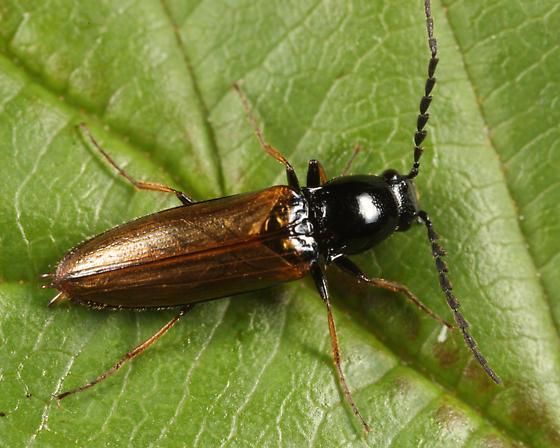 Click Beetle - Oestodes tenuicollis