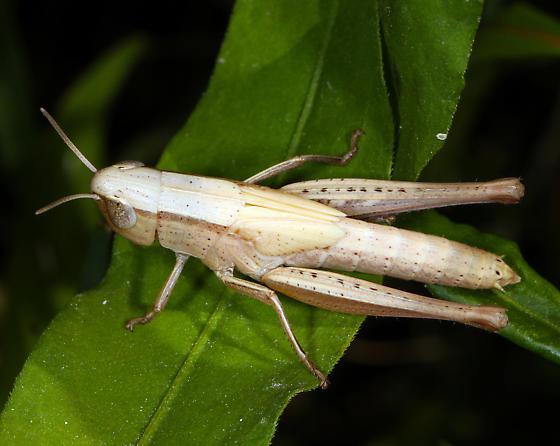 Acrididae immature 2 - Dichromorpha viridis