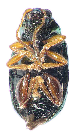 metalic flea beetle? - Crepidodera browni
