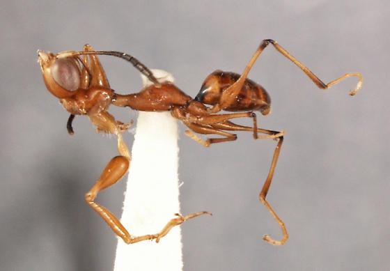 Gonatopus mimoides - Pseudogonatopus mimoides - female