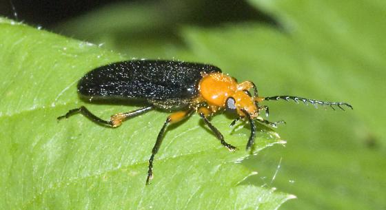 Black and orange beetle - Neopyrochroa femoralis