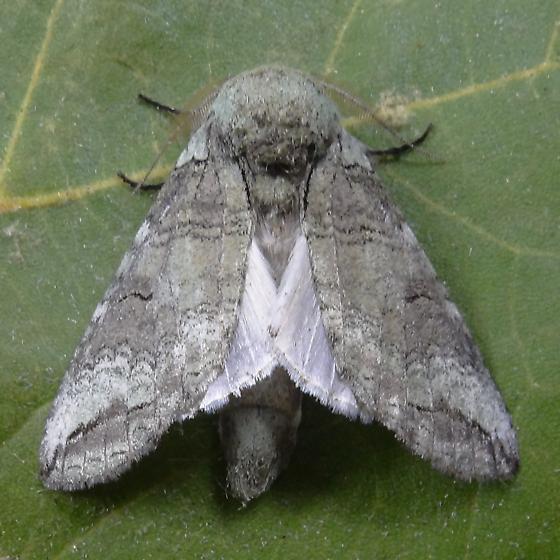 Hodges #7978 (Heterocampa astartoides) ? - Heterocampa astartoides