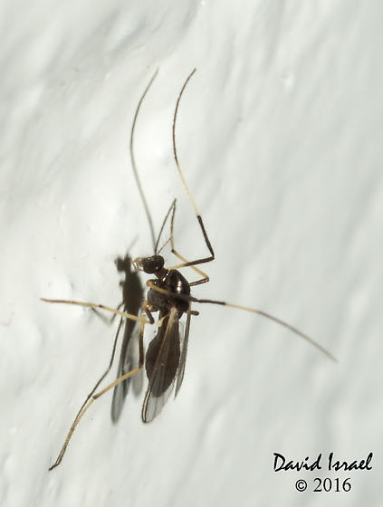 Fly - Paratendipes albimanus - female