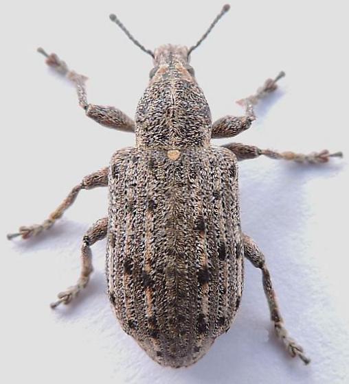 Pennsylvania Beetle  - Ithycerus noveboracensis