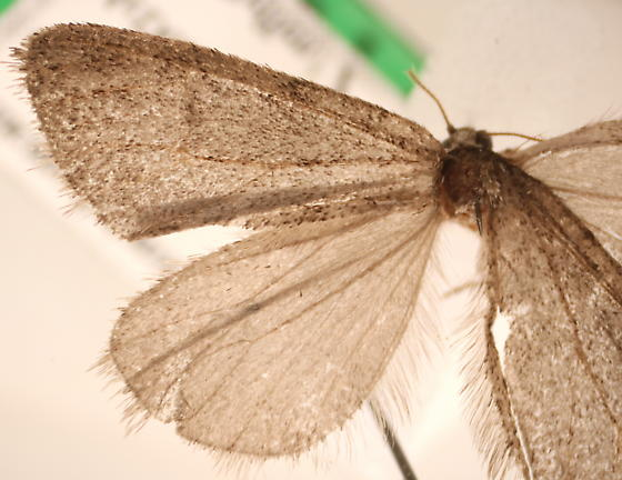 Paleacrita vernata - male