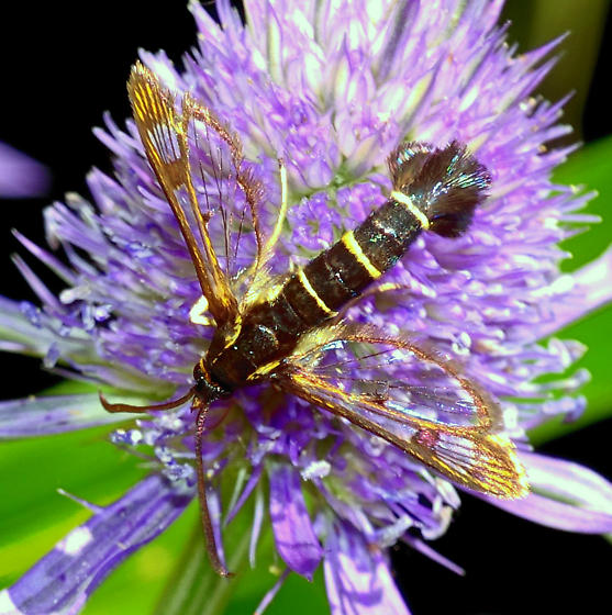 Synanthedon tipuliformis (Currant clearwing borer) from Oregon - Synanthedon tipuliformis