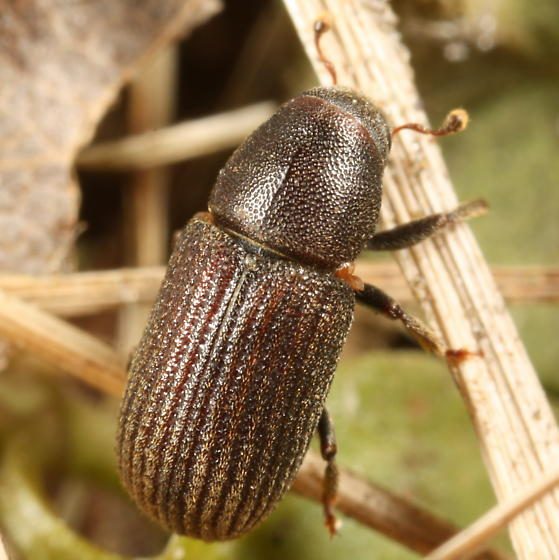 Scolytine with mites - Hylurgops pinifex