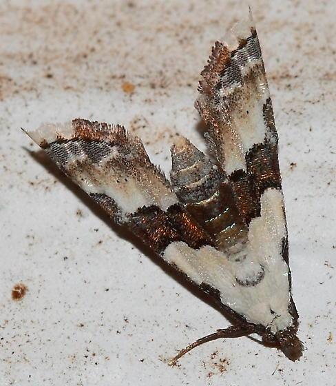 Moth - Nigetia formosalis