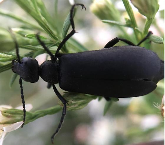 Beetle on Milkweed - Epicauta pennsylvanica