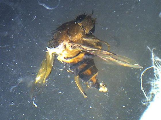 ID me please! - Megaselia scalaris