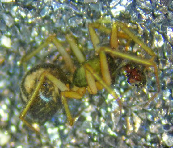 Linyphantes male - Linyphantes - male