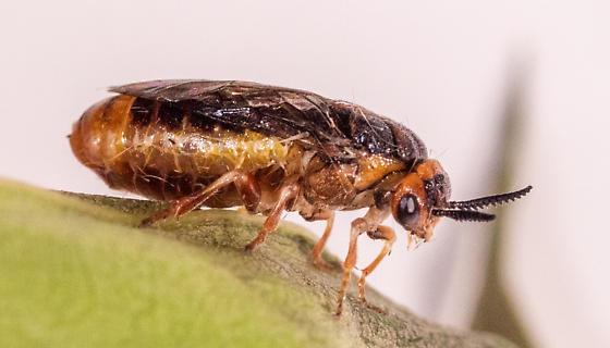 Sawfly for ID