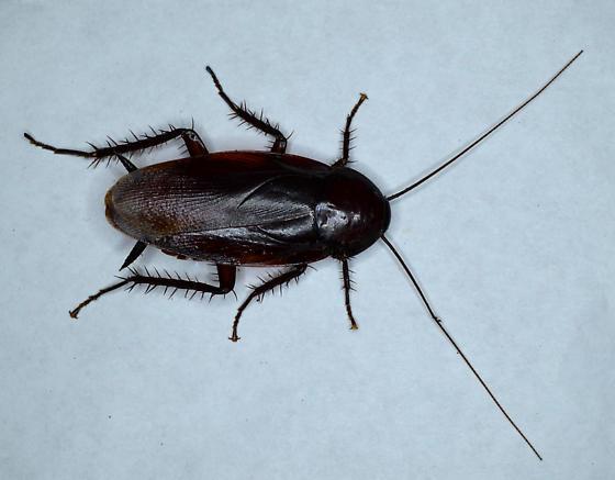 Cockroach - Periplaneta fuliginosa