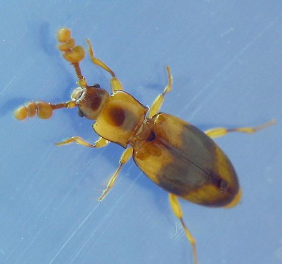 Handsome Fungus Beetle - Phymaphora pulchella - male