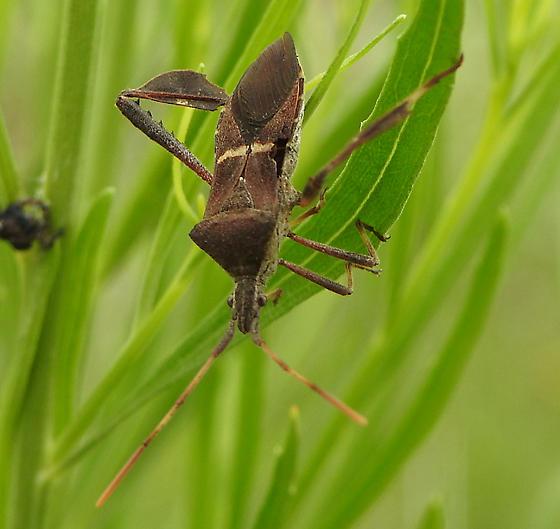 Leptoglossus phyllopus ? - Leptoglossus phyllopus