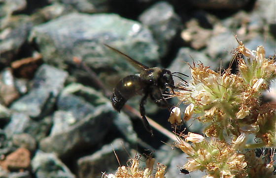 all black bumble bee - Xylocopa californica