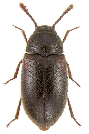 Pisenus humeralis (Kirby, 1837) - Pisenus humeralis